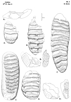 Teeth of Elephas Recki subspecies